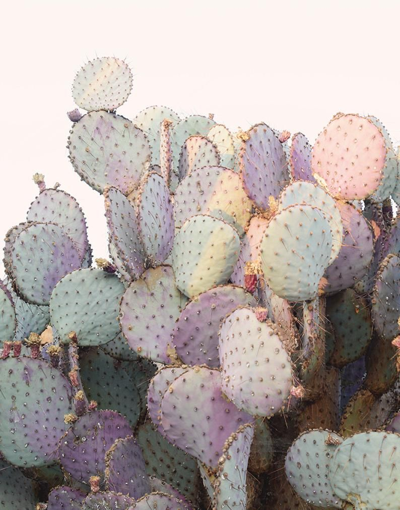 Photo of Pink Cactus Fine Art Photograph – Purple Prickly Pear