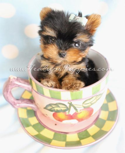Tiny Teacup Yorkie Puppy By Teacupspuppiescom Teacup Yorkies