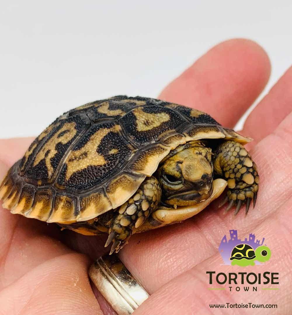 Pancake Tortoise For Sale Baby African Pancake Tortoises For Sale Near Me African Pancake Tortoise Pancake Tortoise Tortoise