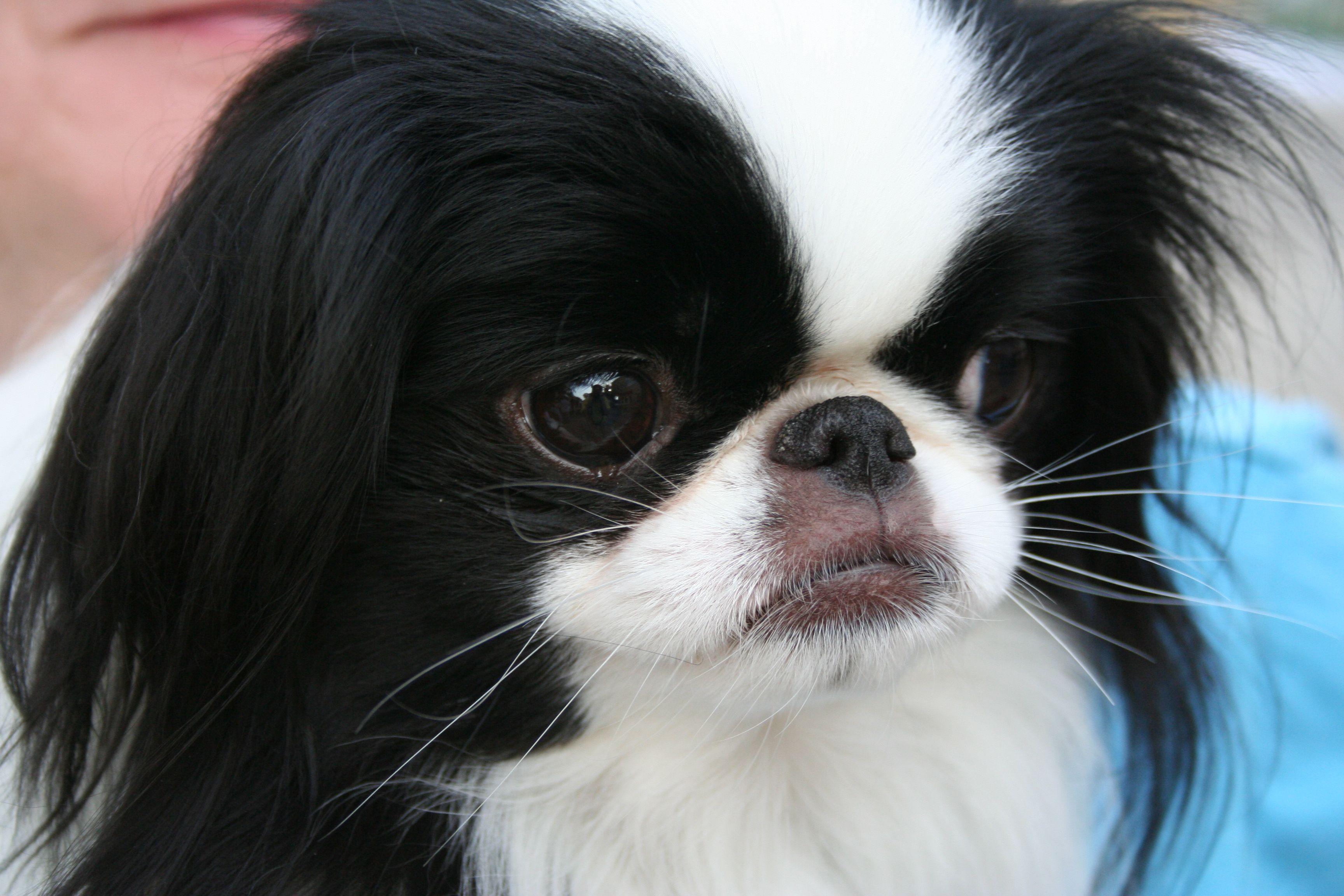 Imag0289 Japanese Chin Dog Breeds Animal Facts