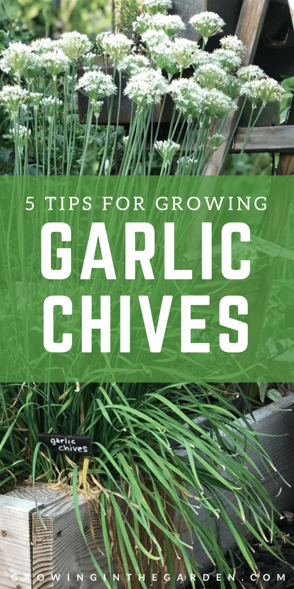 How To Grow Garlic Chives 5 Tips For Growing Garlic Chives Growing In The Garden In 2021 Growing Garlic Garlic Chives Perennial Vegetables