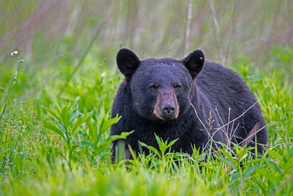 Large Black Bear In The Great Smoky Mountains In 2020 Black Bear Attacks Black Bear Bear Attack