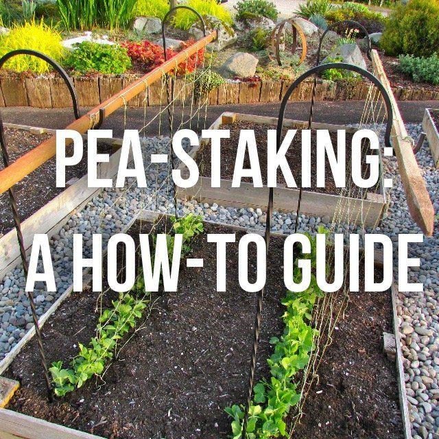 Staking Peas Collins Chiropractic Hydroponic Farming Peas Pea Trellis