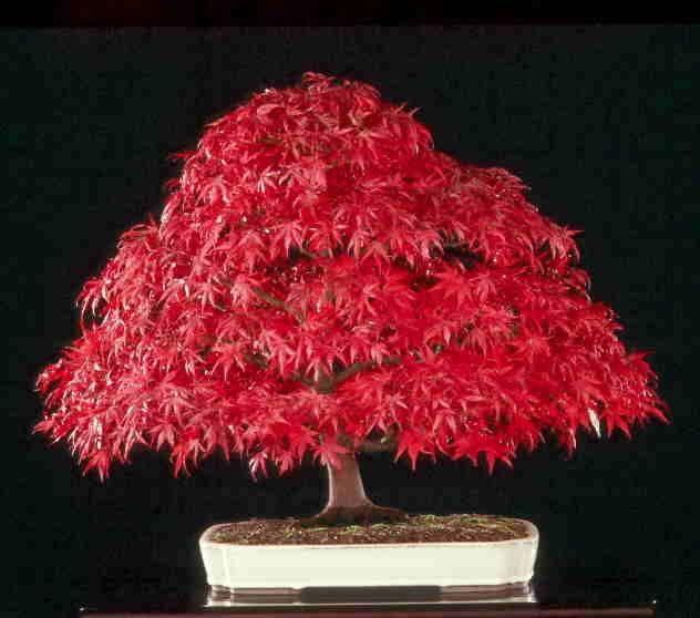 les plus beaux bonsa s au monde tiny trees pinterest bonsa s bonsai erable et erable. Black Bedroom Furniture Sets. Home Design Ideas
