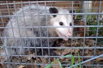 This Past Summer We Received Many Reports Of Possum Sightings Here They Are In May Jill From Markdale Said I Saw A Turkey Vult Possum Summer Opossum
