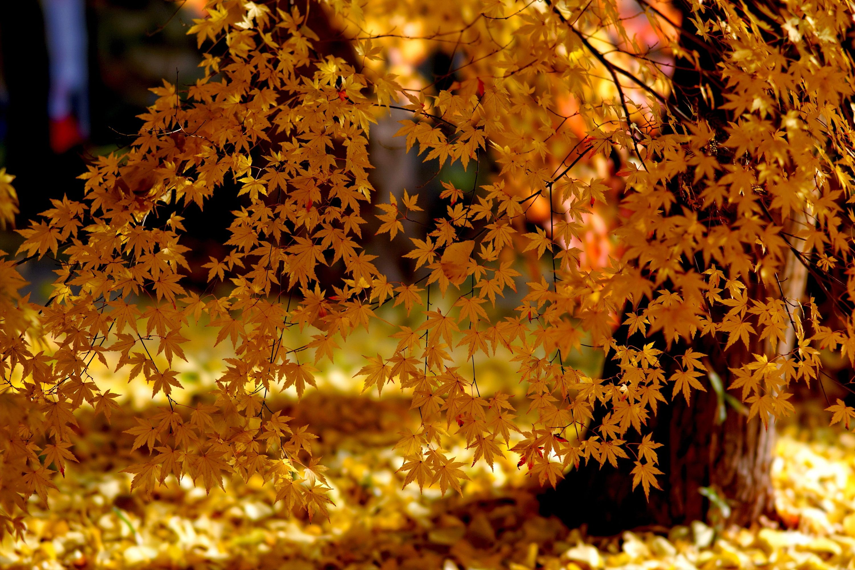 Fan of leaves in 2019 Autumn trees, Red maple tree, Tree