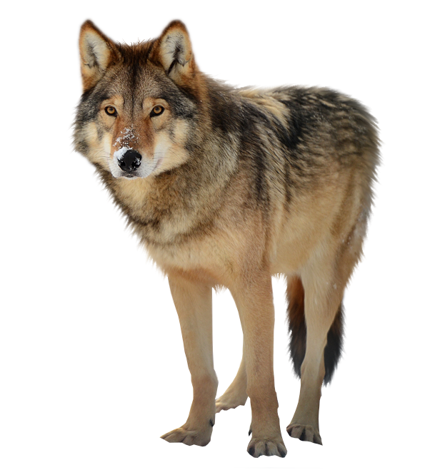 Timber wolf PNG by RAYNExstorm on DeviantArt Wolf