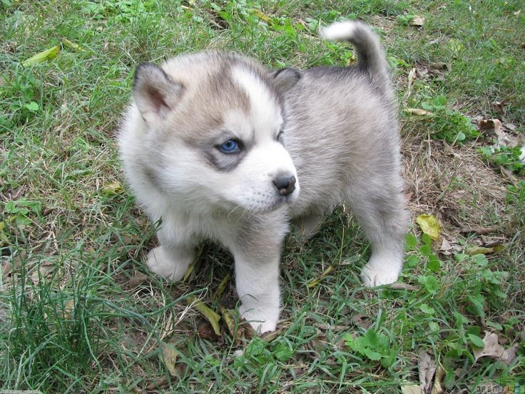 Baby Huskies With Blue Eyes Soo Cute Pomsky Puppies Siberian