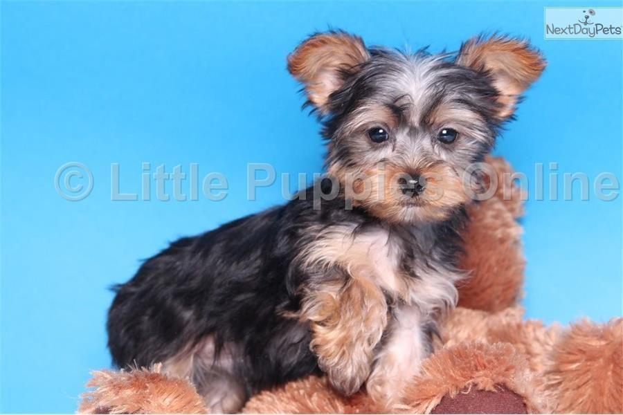 Cam Male Akc Yorkie Yorkie Yorkie Puppy Yorkshire Terrier