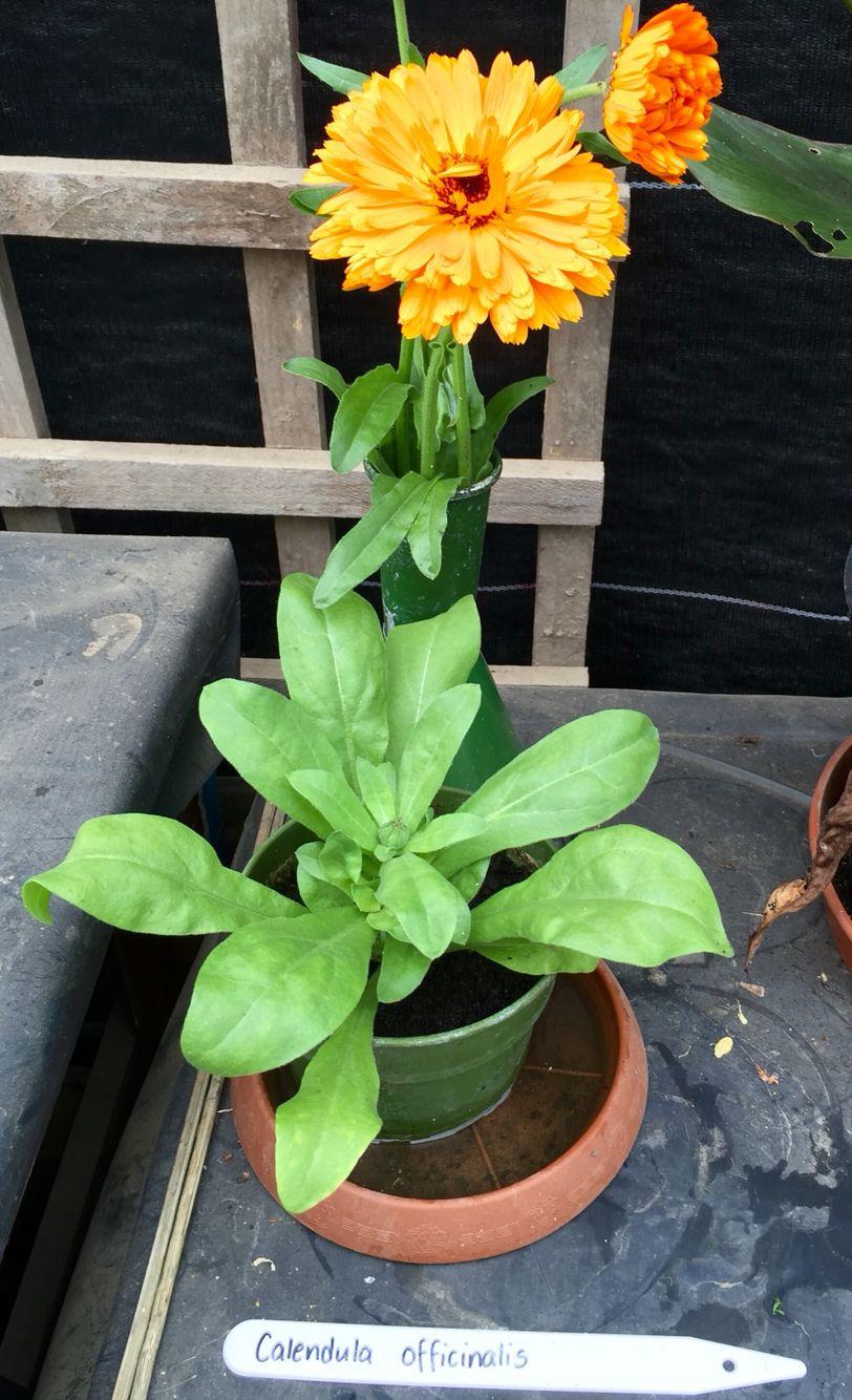 Calendula officinalis Plant identification, Calendula