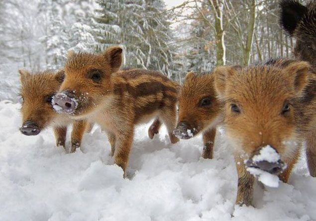 Four Baby Havalinas Wild Boars Playing In The Snow Photo