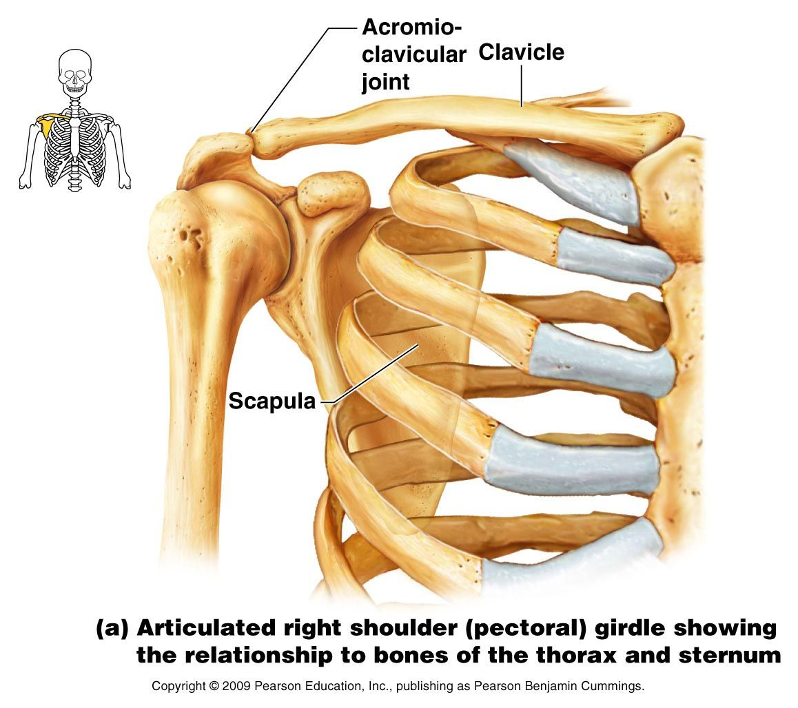 Appendicular Skeleton | Anatomy | Pinterest | Shoulder bones ...