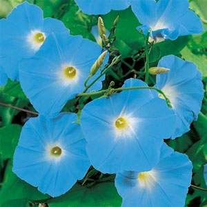 Flower Seed Heavenly Blue Morning Glory Seeds Flower Seeds Sutton Seeds Blue Morning Glory