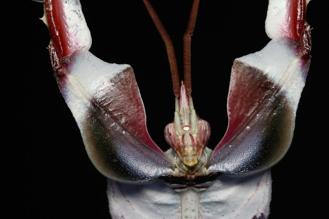 sta singular especie de Mantis, único ejemplar del genero Idolomantis, es probablemente la mantis de mayor tamaño, pudiendo alcanzar en machos los 11 centímetros, mientras que las hembras llegan a medir 13 centímetros