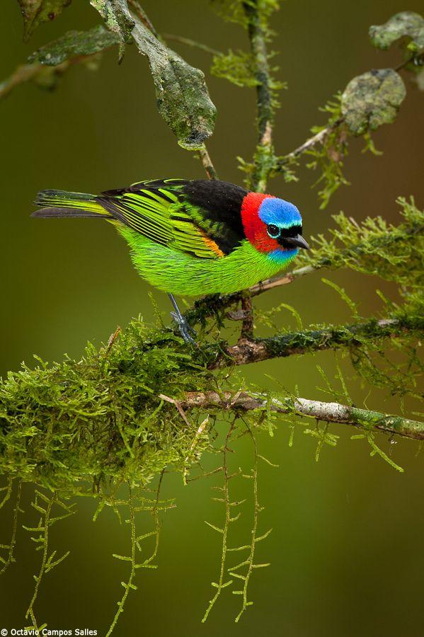 Red-necked tanager (Tangara cyanocephala) photographed by Octavio Campos Salles