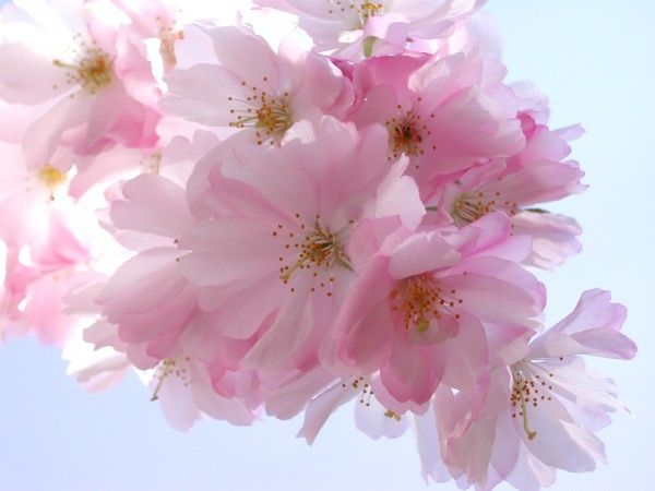 أجمل صور ورد أبيض Photo Hd Pink Spring Flowers Flower Photos Flowers