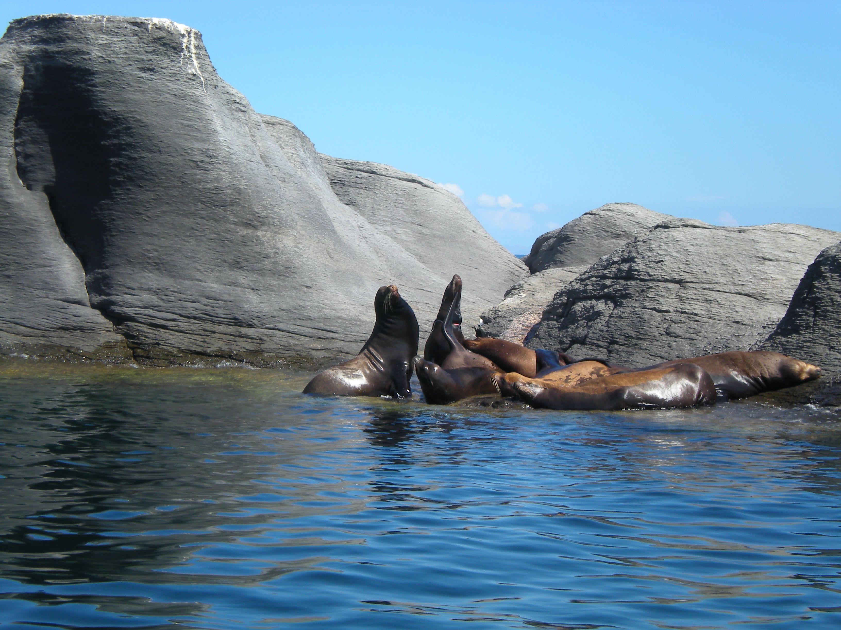 Lobos marinos en la reserva de la biosfera de las islas del golfo de california