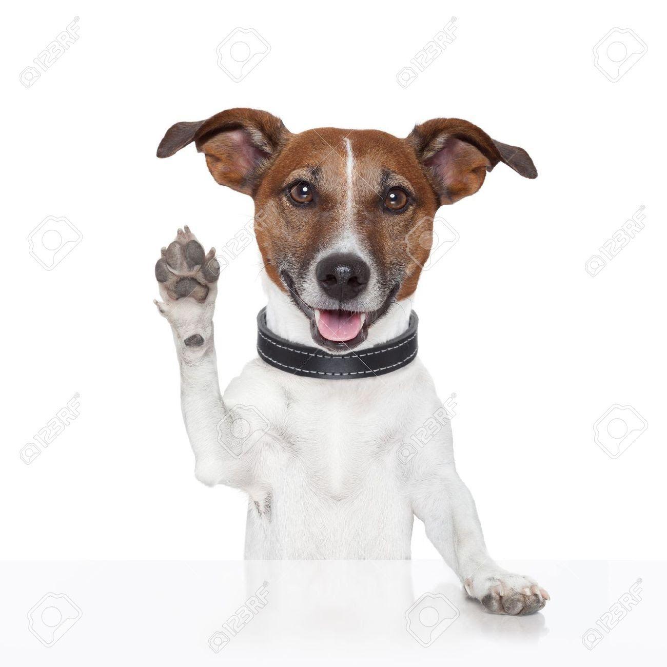 Farewell Zephy Hello Domino Terrier puppies, Jack