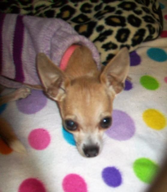 Betty Is An Adoptable Chihuahua Searching For A Forever Family