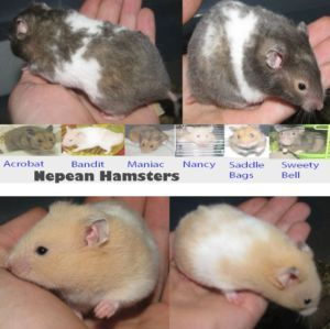 Baby Hamsters Syrian Hamster pups for sale! (With images