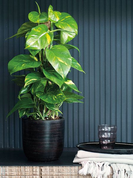 Las 20 Plantas De Interior Mas Resistentes Jardineria Pinterest - Plantas-de-interior-resistentes