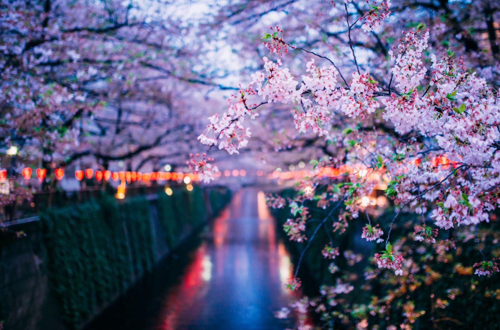 Pin By Natalia Carrillo On Flowers Sakura Cherry Blossom Sakura Flower Cherry Blossom Tree