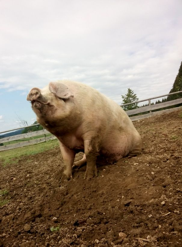 This Is What A Happy Pig Looks Like Rescued Pig At Gut Aiderbichl