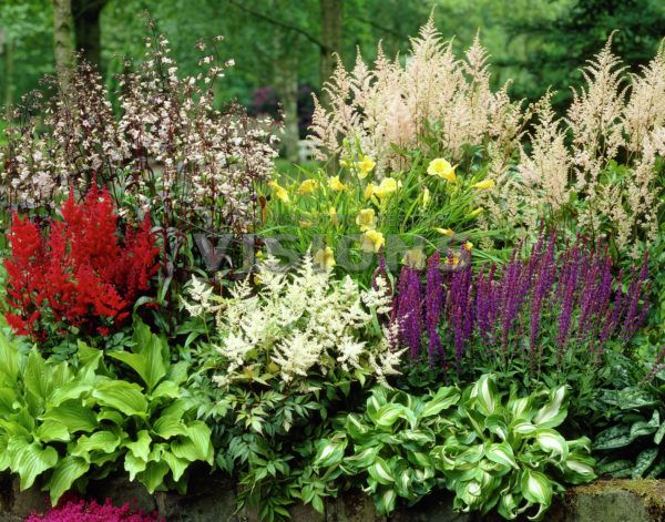 Collection Nr. 30, Hosta, Astilbe, Penstemon, Salvia, Hemerocallis ...