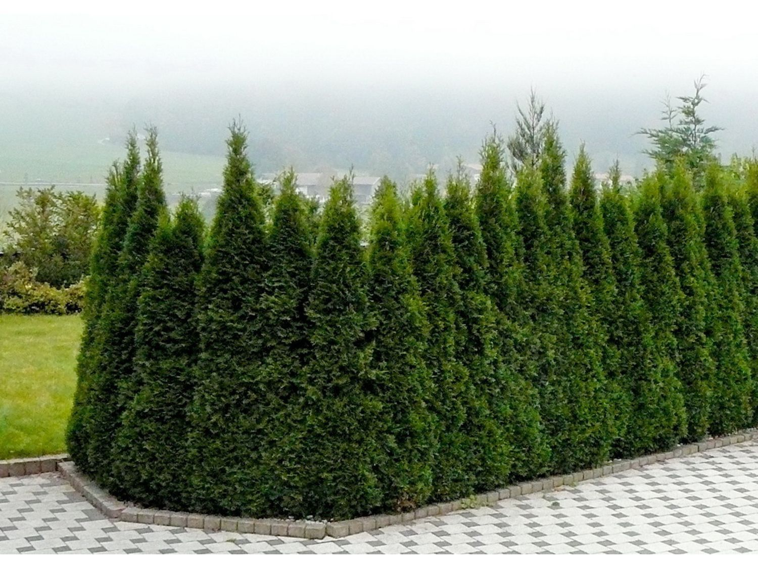 Arborvitae Emerald Green Is A Fast Growing Evergreen That Used As Privacy Screen