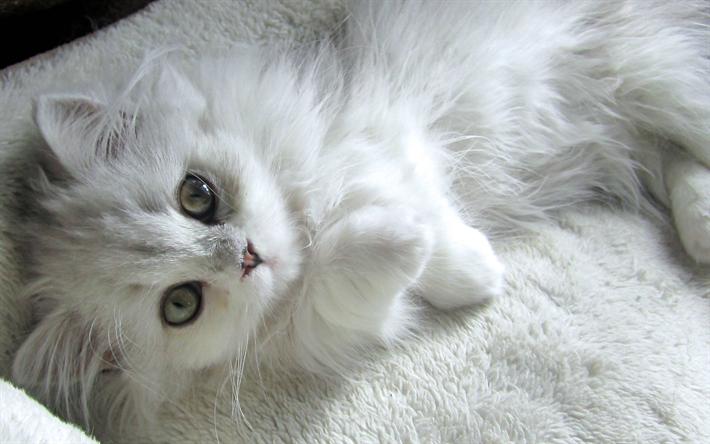Download wallpapers Turkish Van, pets, white cat, kitten, cute animals, cats, Turkish Van Cat, domestic cat