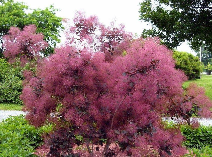 Garden Center Uk Online With Images Smoke Bush Amazing