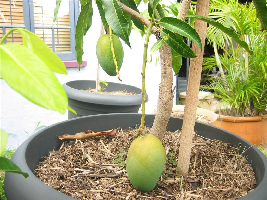 How To Grow Mango Trees In Pots Blog Nurserylive Com Gardening In India Potted Trees Mango Tree Mango Plant