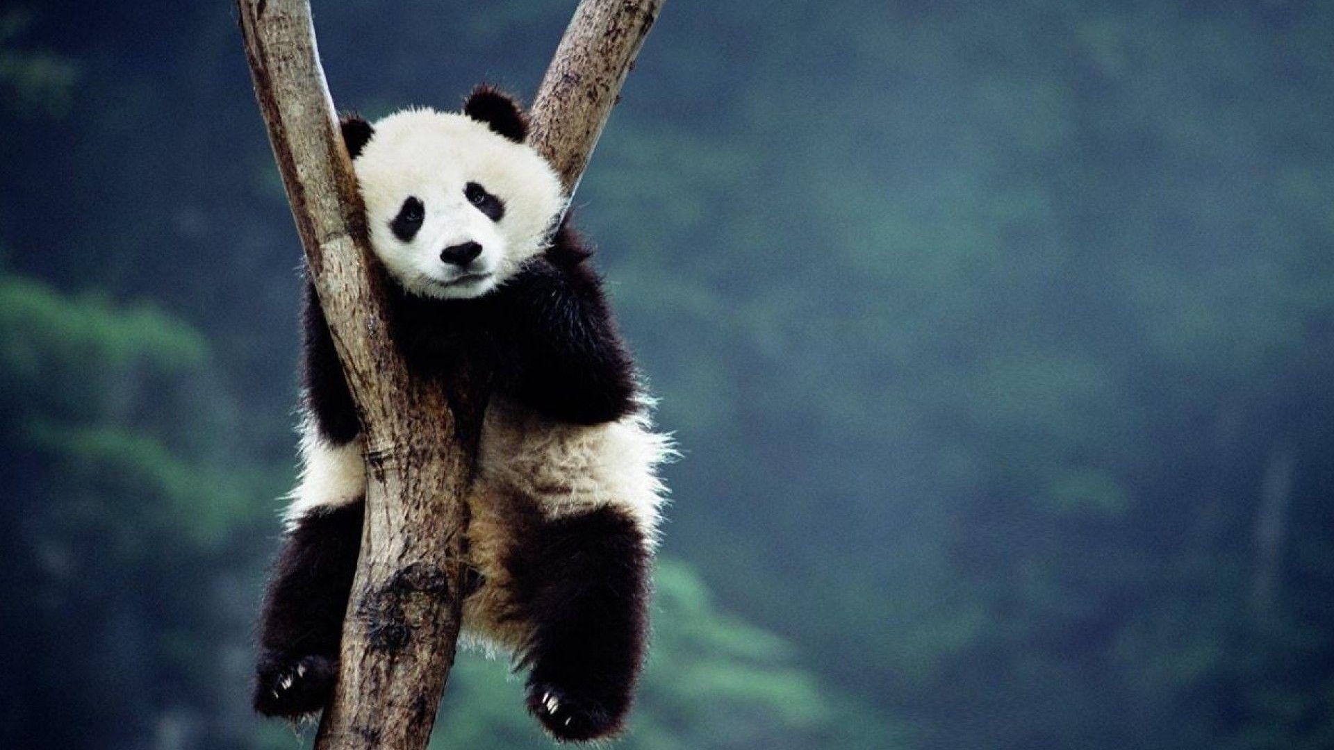 Cute Panda Pictures Wallpaper Hd 2021 Live Wallpaper Hd Panda Wallpapers Panda Bear Animal Wallpaper
