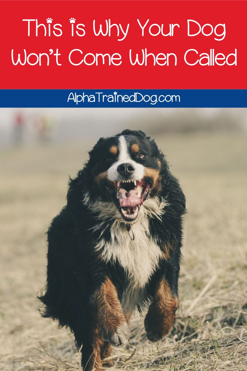 Want To Know Why Your Dog Won T Come When Called Read On For The