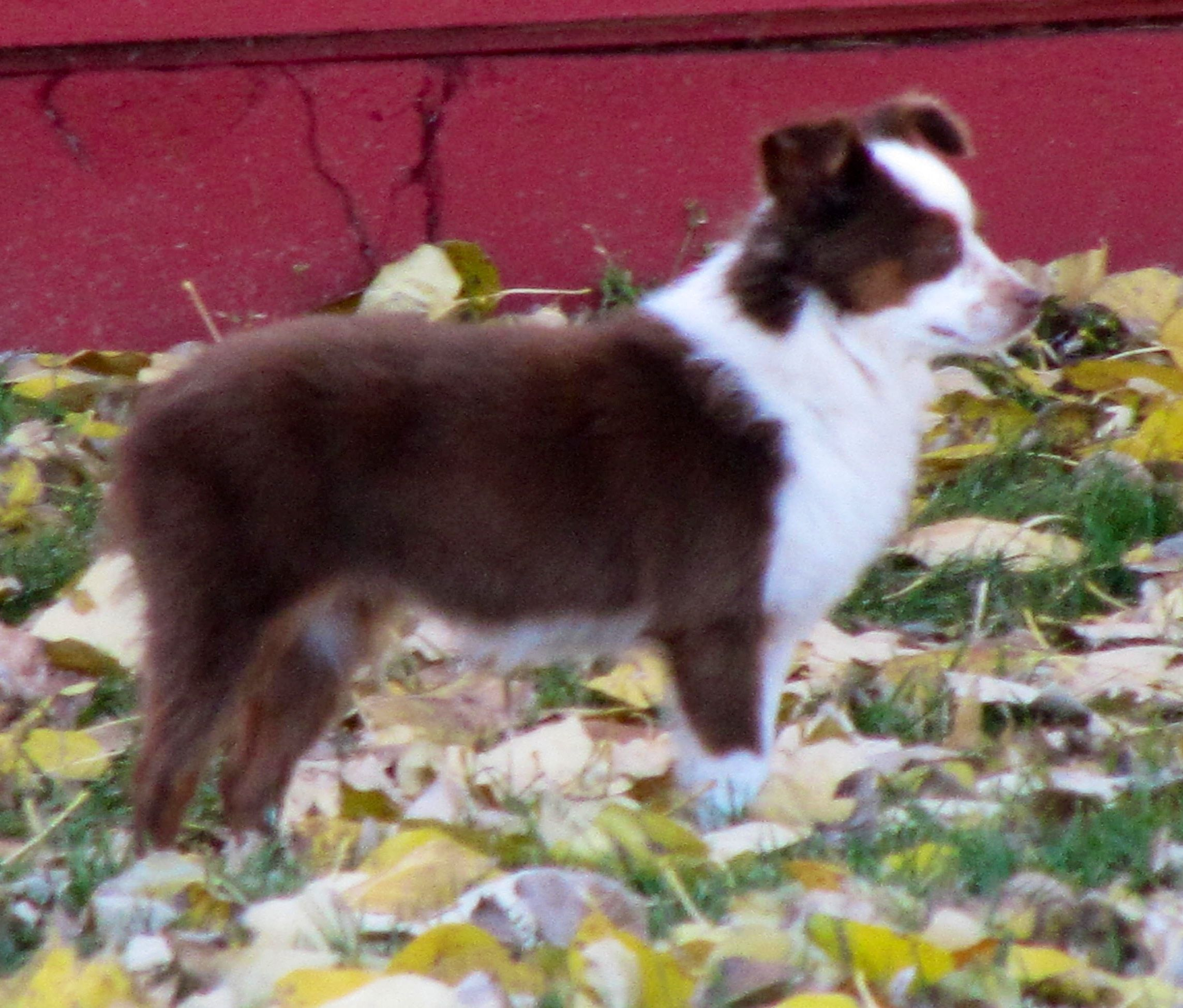 Beartooth Toy Aussies Has Several Puppies And Adults For Sale Many Are Championed Blue Eyed Tris And All Wit Toy Australian Shepherd Dogs And Puppies Aussie