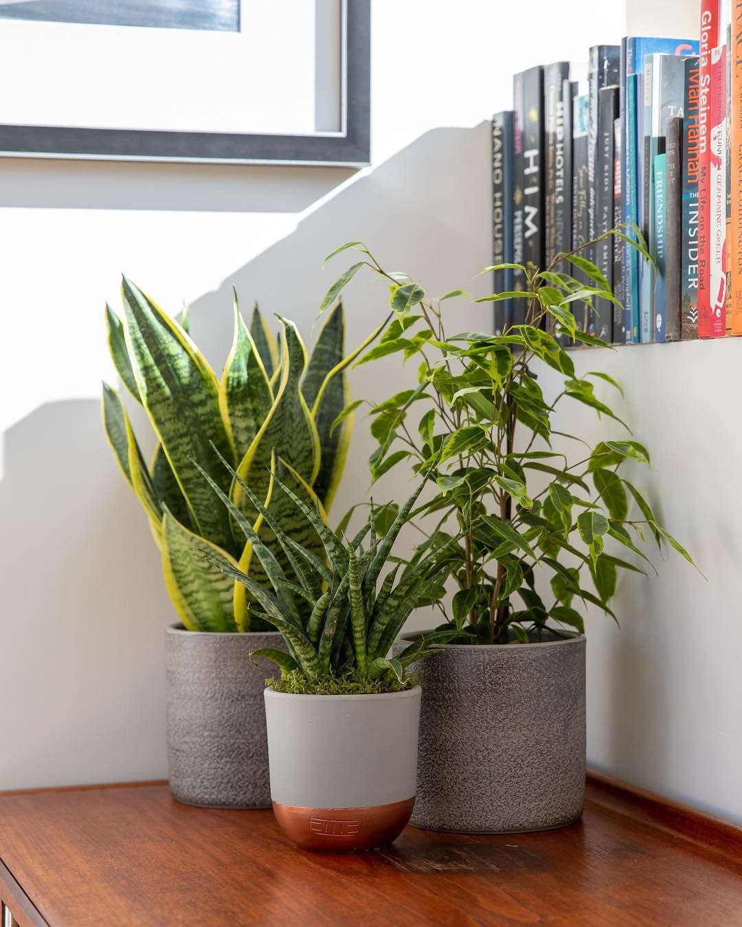 10 Amazing Snake Plant Living Room