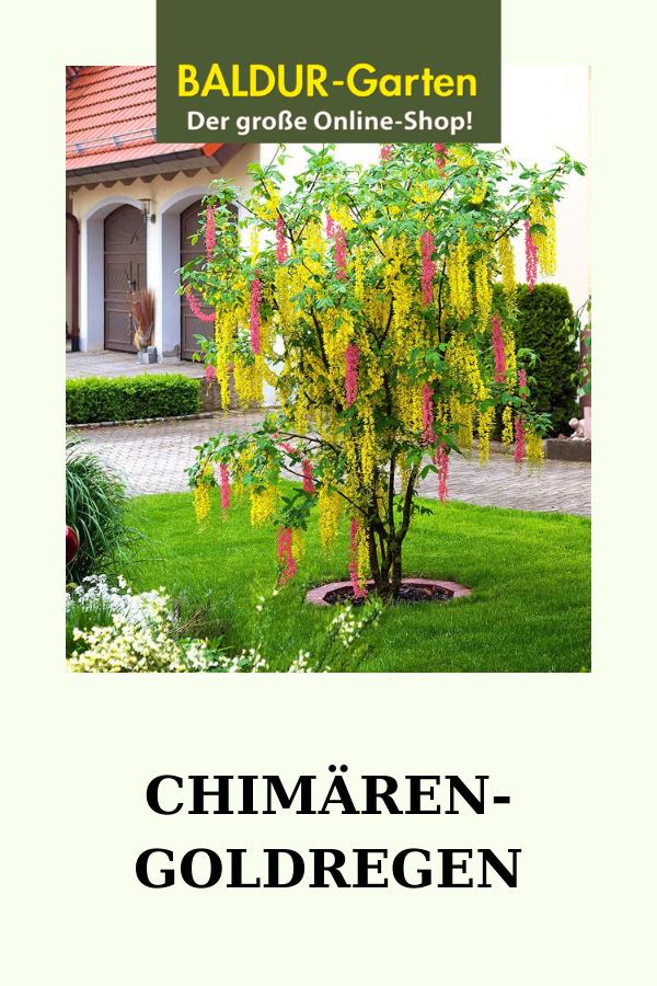 Chimaren Goldregen Zierstammchen Bei Baldur Garten Gartenarbeit Pflanzen Garten