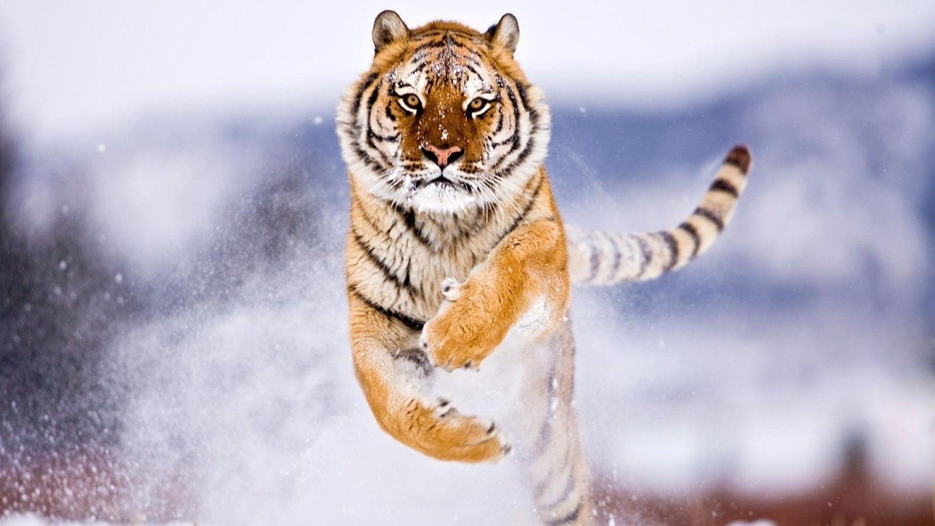 Running tiger wallpaper hd