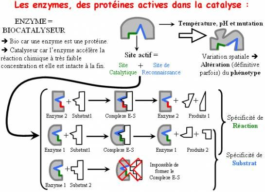 Beliebt Banque de Schémas - SVT - Académie de Dijon - action de l'enzyme  XC66