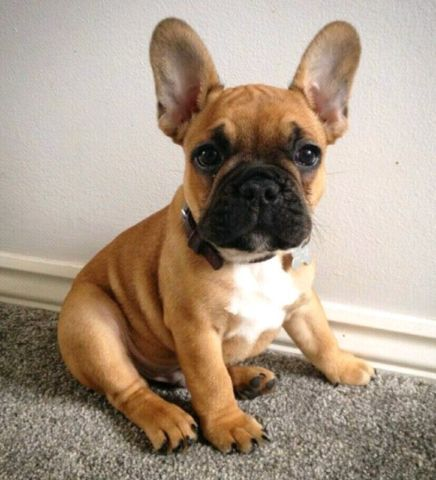 French Bulldog Puppy Perros Bulldog Gatos Y Perros Lindos