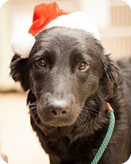 Lovables Texas Layla Is A Spayed Black Labrador Retriever Dog Seeking A Loving Adopter At The East Lake Pet Orphanage 10101 E Northwest Hwy Dallas Tx 7523