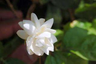 Arabian Jasmine Or Mogra Garden Flowers Flowers Jasmine Plant