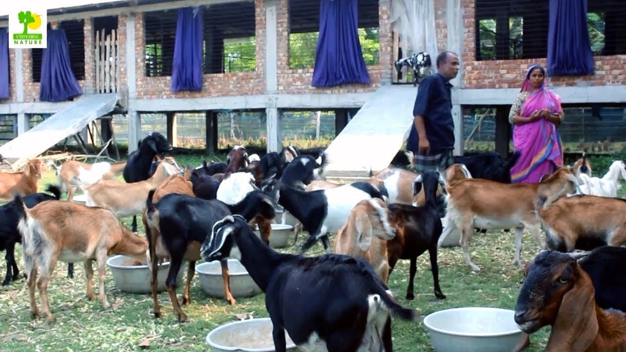 How to Start a Business Goat Farming Business Ideas with