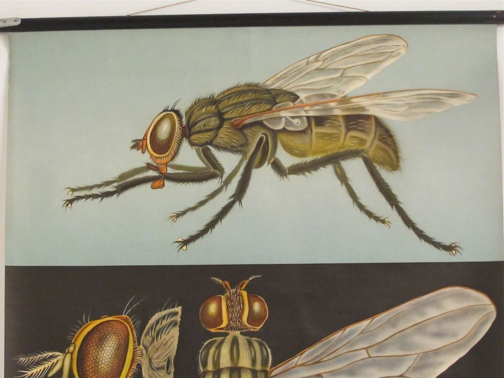 fly anatomy - Google Search | Fly | Pinterest