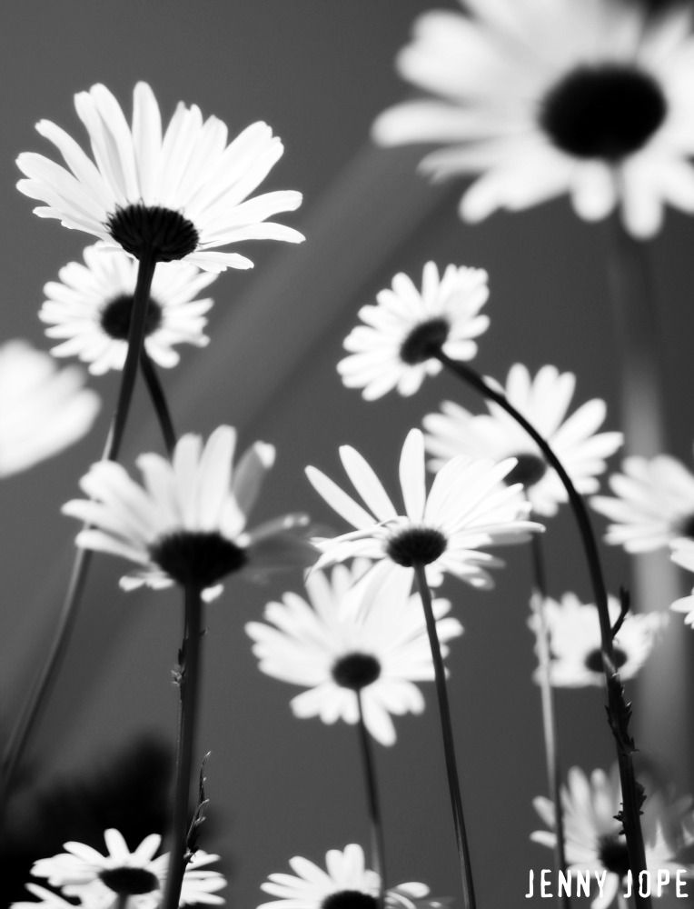 black and white daisies in a field | Daisies | Pinterest ...