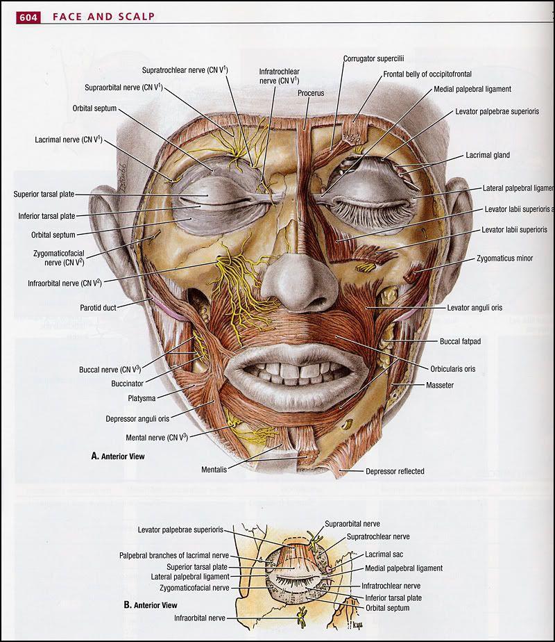 Kuvahaun tulos haulle a mentalis | Anatomi | Pinterest