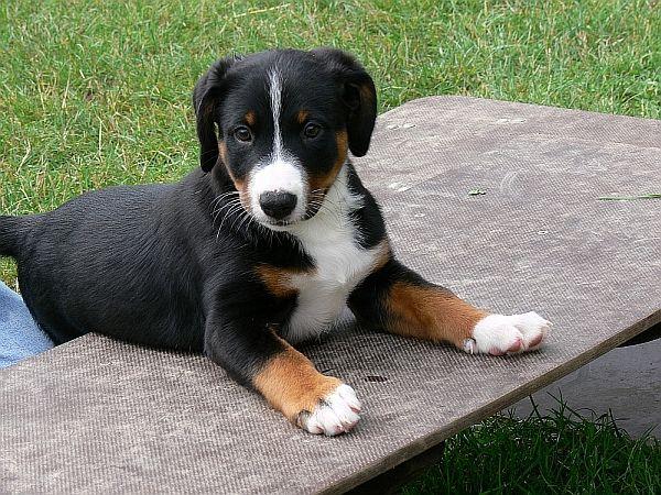 Bock Auf Appenzeller Sennenhunde Entlebucher Mountain Dog Dogs