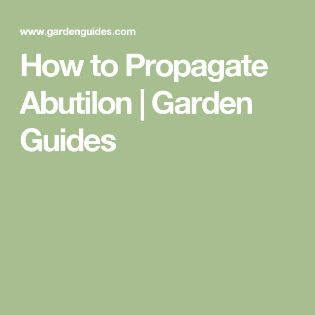 How To Propagate Abutilon Garden Guides Gardeningoutdoors