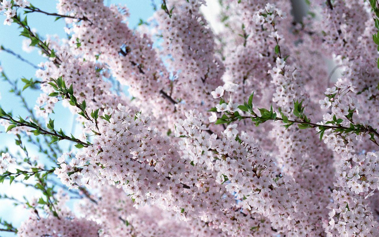 cherry blossom life in purple fotos de paisajes. Black Bedroom Furniture Sets. Home Design Ideas