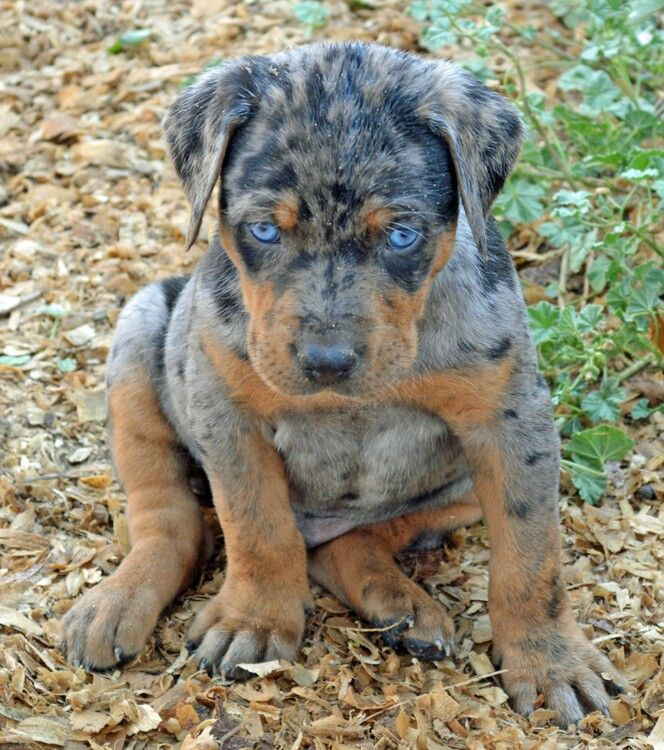 Such A Beautiful Puppy Those Blue Eyes Are So Striking Louisiana